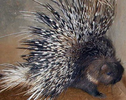 African Crested Porcupine Archipelagojewelry